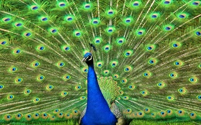 Picture bird, feathers, tail, peacock