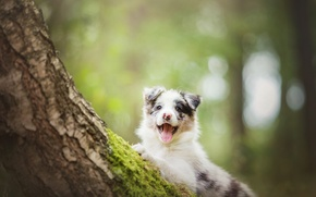 Picture tree, dog, puppy, The border collie