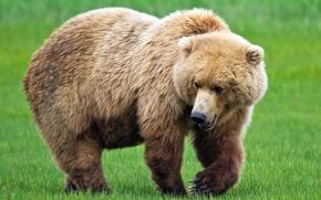 Picture summer, grass, face, paw, bear, bear, flies