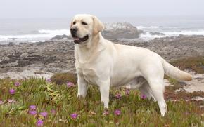 Picture Dog, Labrador, Retriever