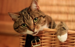 Wallpaper cat, look, muzzle, basket, foot