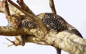 Picture leopard, look, predator, stay, tree