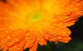 Picture drops, orange, petals