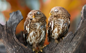 Wallpaper birds, branches, background, bark, owls, sleep, bokeh