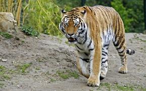 Picture cat, tiger, Amur