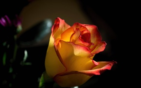 Picture nature, background, rose, petals, Bud