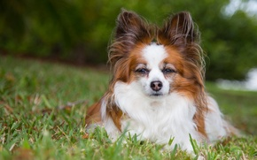 Picture look, dog, The continental toy Spaniel, Papillon