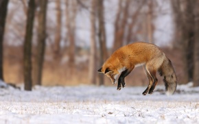 Picture winter, forest, snow, trees, jump, glade, Fox, hunting