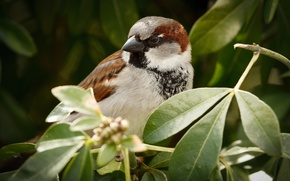 Picture animals, leaves, trees, nature, background, tree, widescreen, bird, Wallpaper, Sparrow, wallpaper, leaves, bird, trees, animals, …