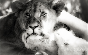 Picture photoshop, Leo, b/W, lions, black and white picture
