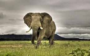 Wallpaper grass, elephant
