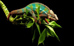 Picture greens, eyes, chameleon, background, branch, lizard, tail