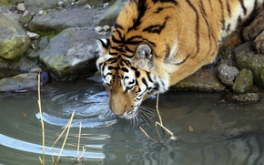 Picture cat, water, tiger, drink, Amur, drinking