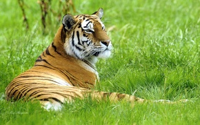 Picture tiger, lies, on the grass, Siberian