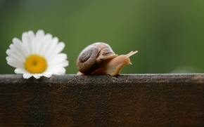 Picture flower, snail, Daisy