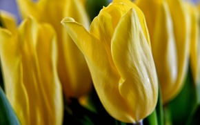 Picture flowers, petals, tulips