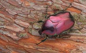 Picture beetle, bark, brantovka, Wallpaper from lolita777, cherry