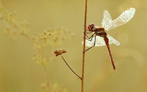 Picture macro, plant, wings, dragonfly, insect, Wallpaper from lolita777