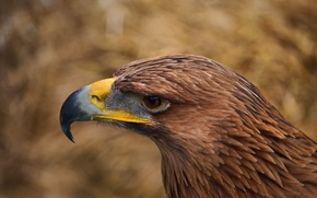 Picture look, eyes, eagle, feathers, beak, Bird