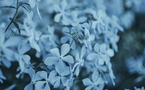 Picture macro, flowers, blue, Bush, bouquet, spring, pot, flowering