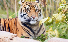 Picture grass, leaves, branches, nature, tiger, predator, lies, striped, resting, handsome
