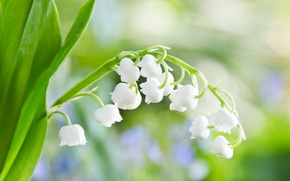 Wallpaper tenderness, macro, Lily of the valley, sheet, flowers, light, white, greens, spring