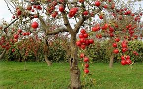 Picture autumn, apples, Apple