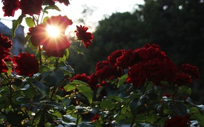 Picture sunset, glare, roses, Flowers, red