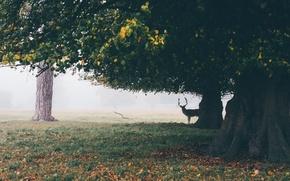 Wallpaper deer, field, fog, trees, horns, autumn, leaves