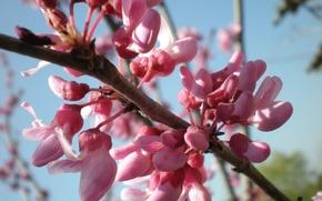 Wallpaper the sky, branch, spring, pink