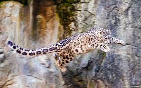 Picture nature, rocks, jump, Snow leopard, IRBIS