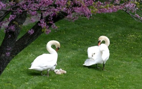 Wallpaper BACKGROUND, TREE, GRASS, PAIR, FAMILY, FIELD, GREENS, FLOWERS, WHITE, SPRING, GREEN, DUCKLINGS, OFFSPRING, SWANS