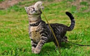 Picture cat, dandelion, Koshak, walk, weed, Tomcat