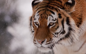 Picture winter, face, snow, tiger, wild cat