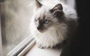 Wallpaper cat, cat, mustache, wool, blue eyes