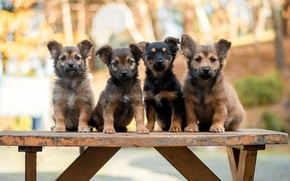 Picture dogs, puppies, bench