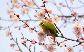 Picture flowers, branches, bird, flowering tree, white-eyed