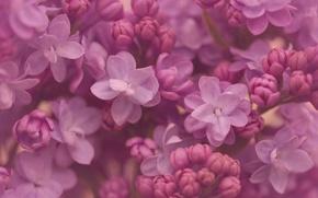 Wallpaper macro, flowers, lilac