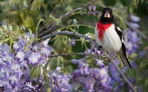 Wallpaper Wisteria, Wisteria, branch, bird, The red-breasted cardinal Dubonosov
