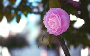 Wallpaper flower, leaves, macro, pink, branch, Camellia