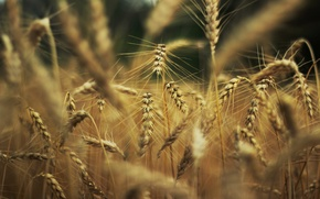 Picture wheat, nature, background, widescreen, Wallpaper, rye, spikelets, wallpaper, ears, widescreen, background, spike, full screen, HD ...