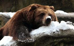 Picture snow, nature, bear