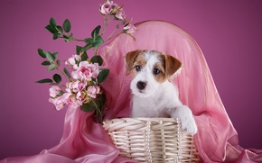 Wallpaper basket, roses, necklace, puppy, the Sealyham Terrier