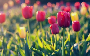 Picture field, glare, focus, yellow, petals, blur, tulips, red, red, field, yellow, Tulips