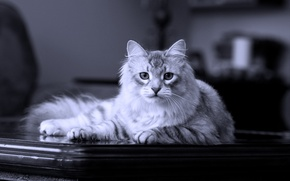 Wallpaper cat, lies, on the table, Siberian, pedigree