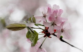 Picture leaves, flowers, cherry, branch, spring, pink, flowering