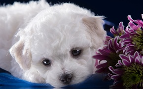 Picture white, muzzle, cute, puppy, chrysanthemum, Bichon Frise
