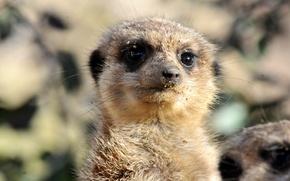 Picture sand, look, face, meerkat