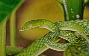 Picture snake, ring, green