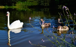 Picture swans, in the water, duck, lake, ducklings, Swan, summer, grass, blue